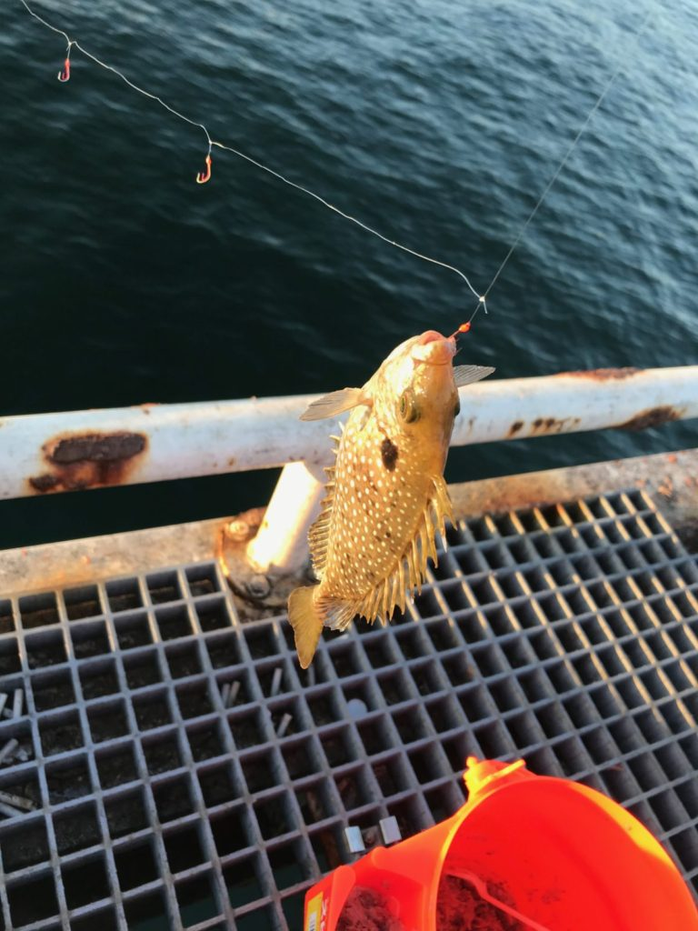 トリックサビキで釣れたアイゴ