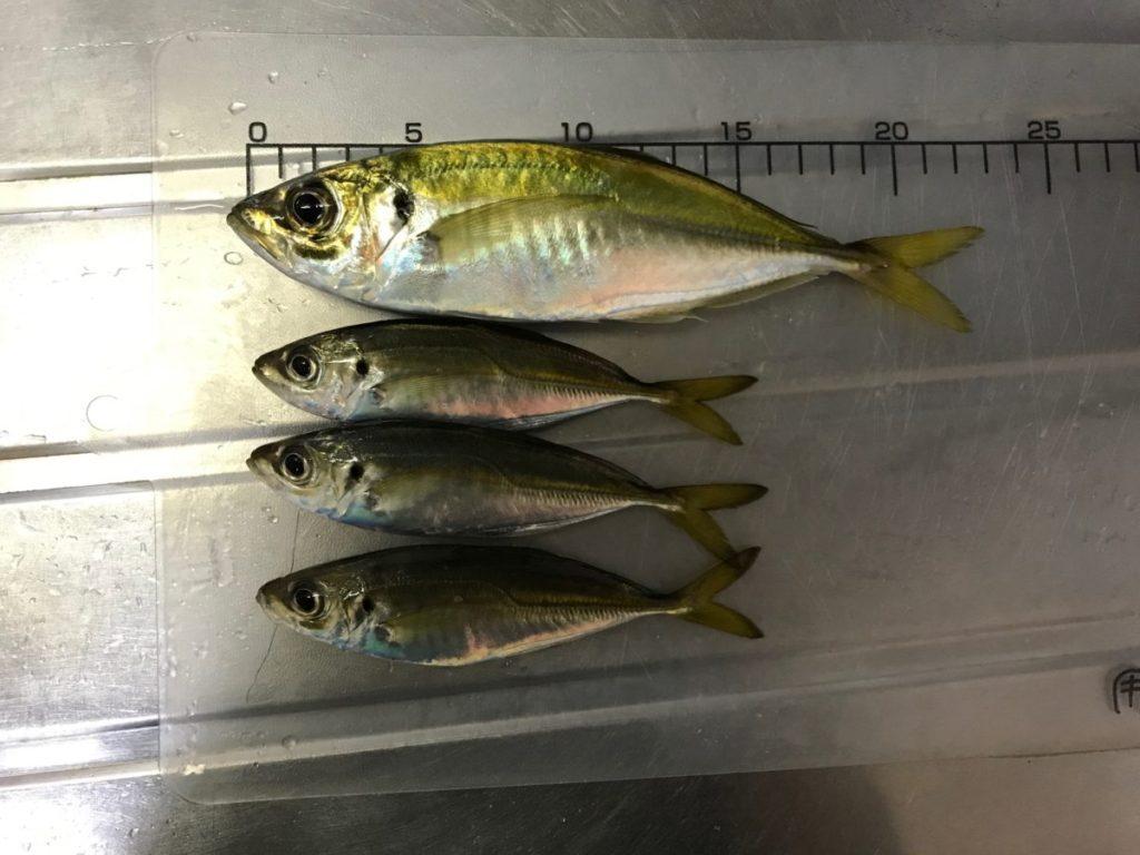 釣果のアジ4匹2