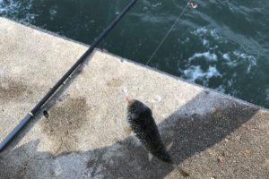冨具崎漁港で釣れたフグ