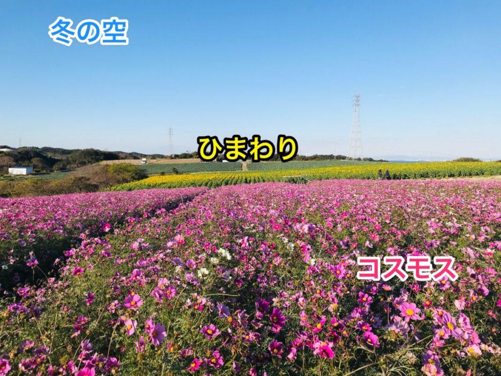 観光農園花ひろばのひまわりとコスモス